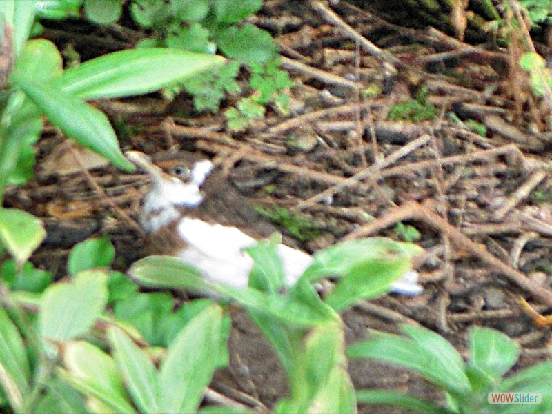 Albino blackbird Croped