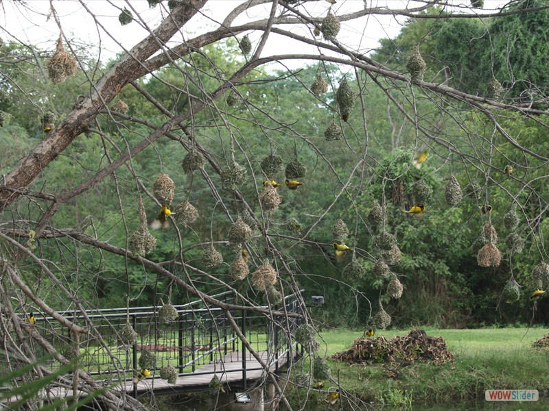 Colony of Weaver Birds