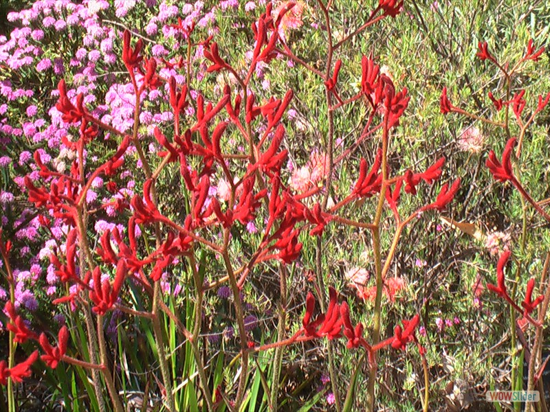'Big Red' Kangaroo Paw