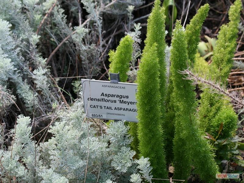 Cat's Tail Asparagus