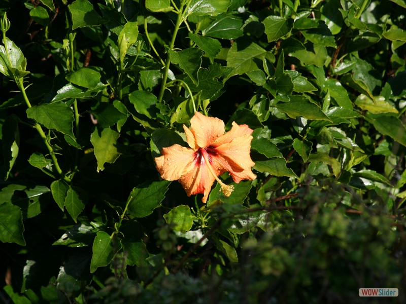 Hibiscus (South Africa)
