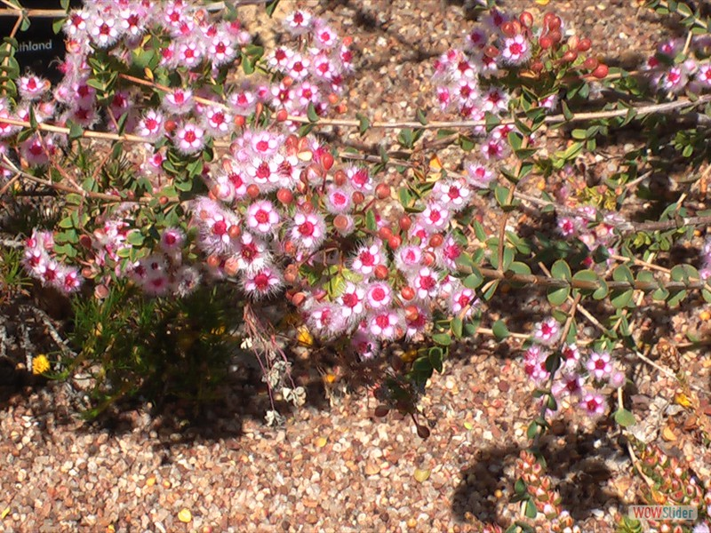 Pink Wolly Featherflower