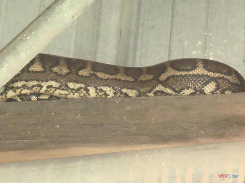 Diamond Head Python