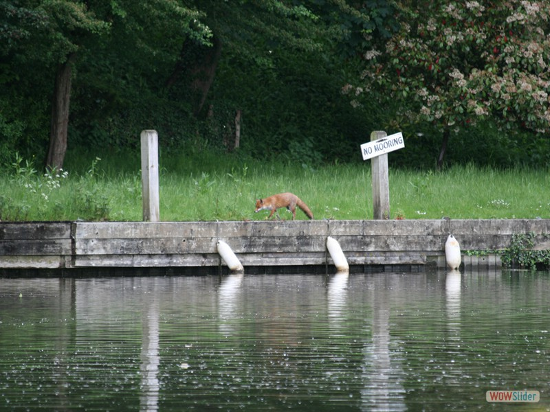 Fox on the River Thames