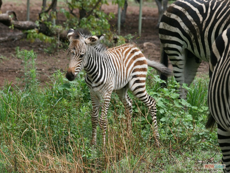 Two Week Old Zebra